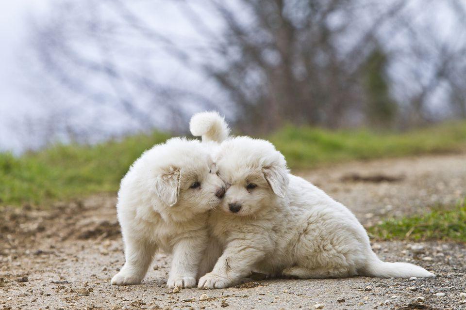 Cachorros de los grandes pirineos