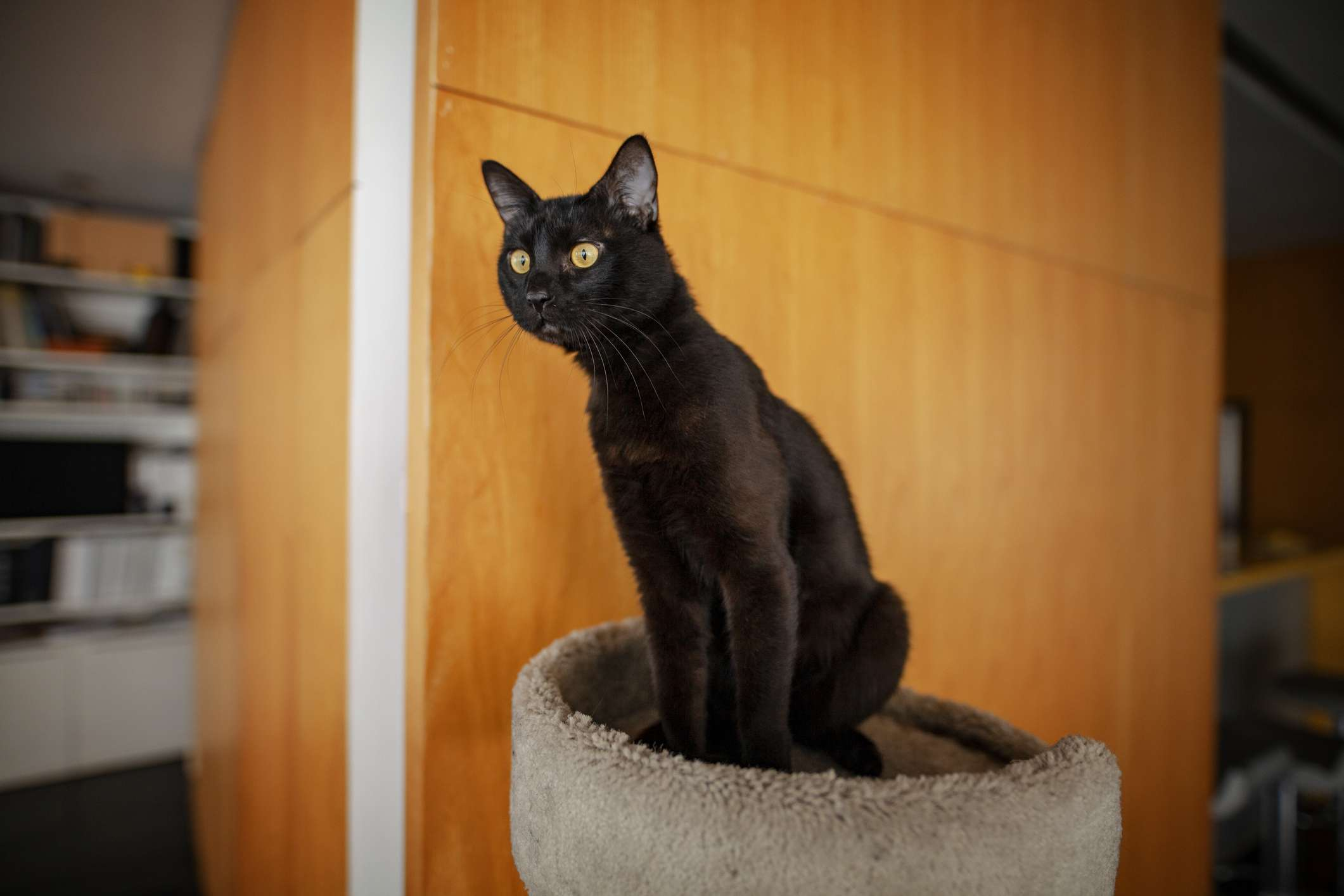 Bombay cat sitting on cat tree