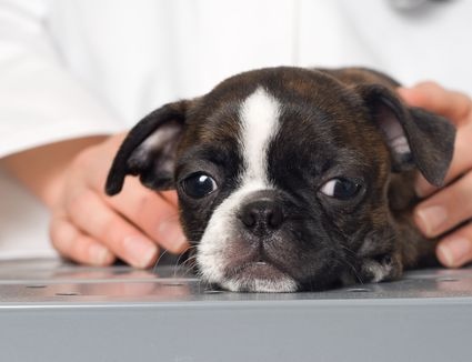 What to Do if Your Dog Has a Nose Bleed