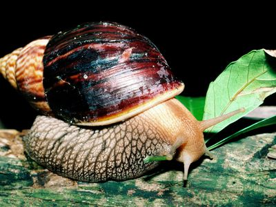 Why You Should Avoid Keeping Giant African Land Snails as Pets