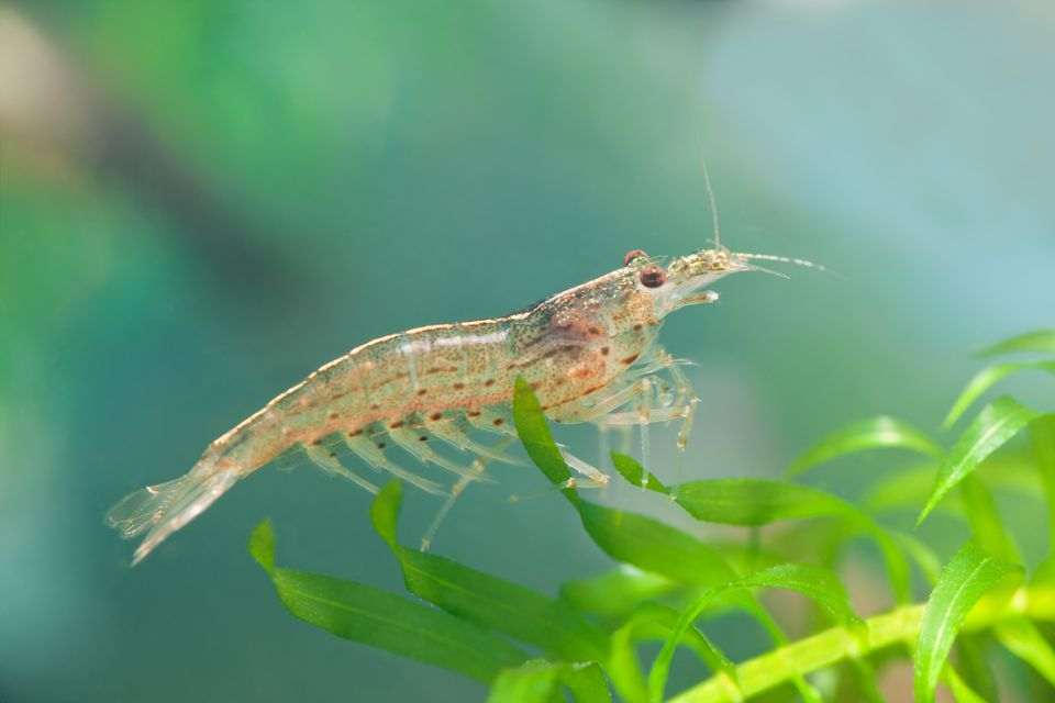 Amano shrimp sitting on a plant