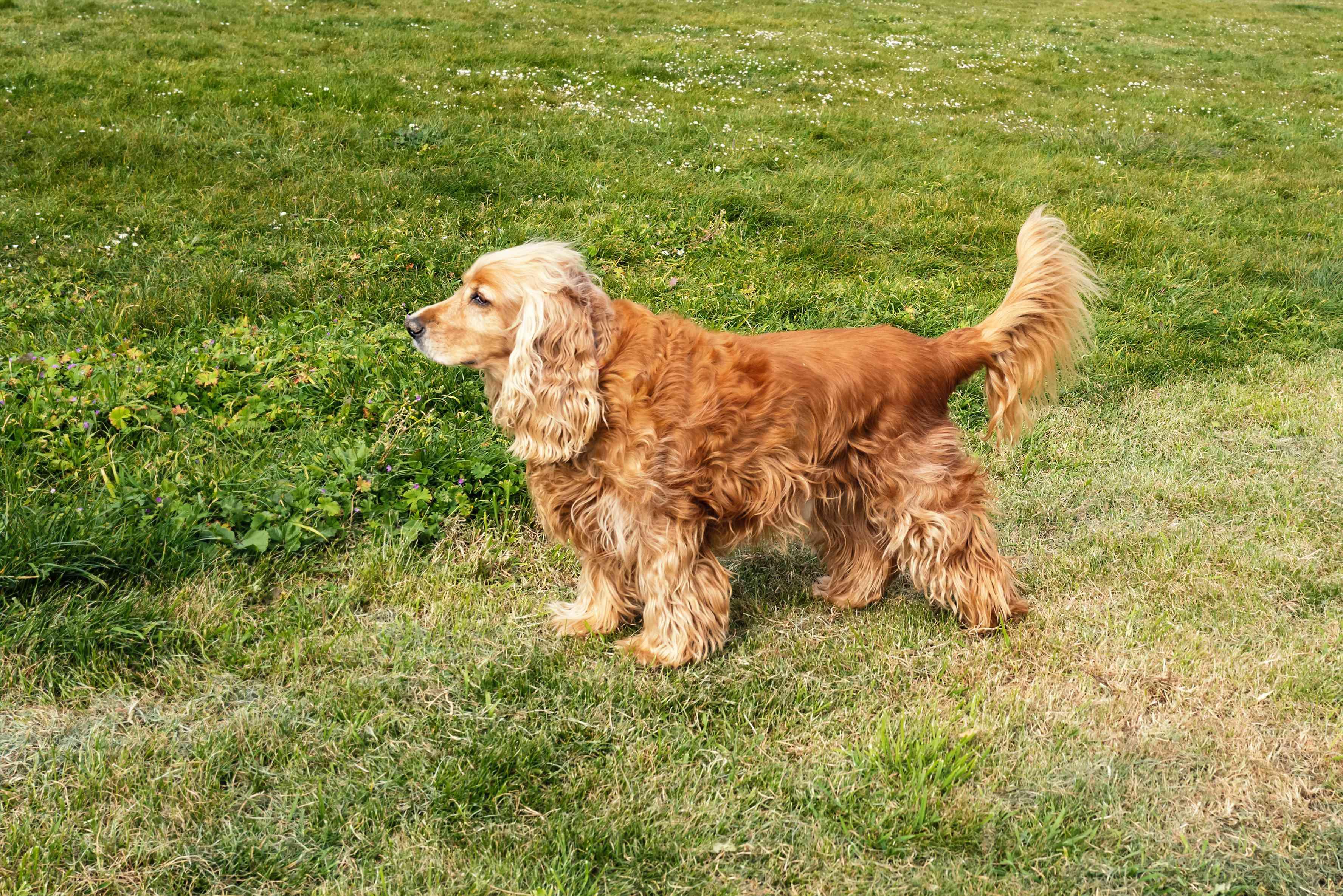 Cocker Spaniel standing in profile on grass