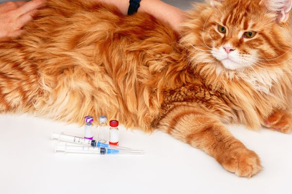 Orange Maine Coon cat with vaccine vials and syringes on a table.