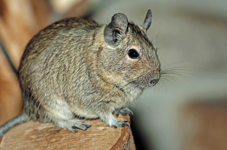 Common Degu or brush-tailed rat (Octodon degus), species from Chile, captive, Hamm, North Rhine-Westphalia, Germany