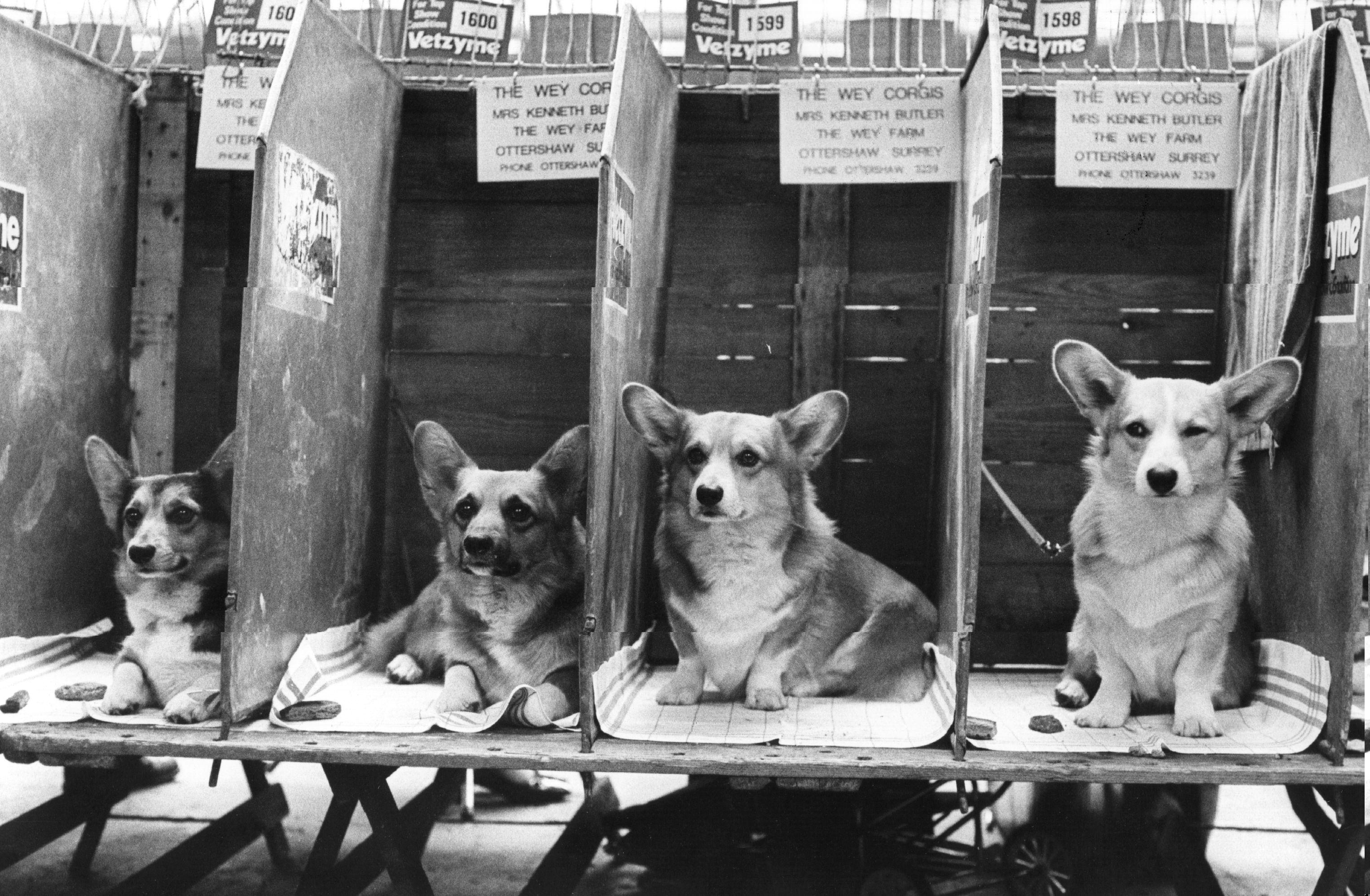 Exposición canina de Pembroke Welsh Corgi