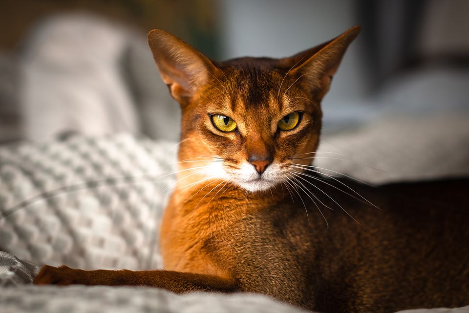 An Abyssinian cat laying on a blanket.