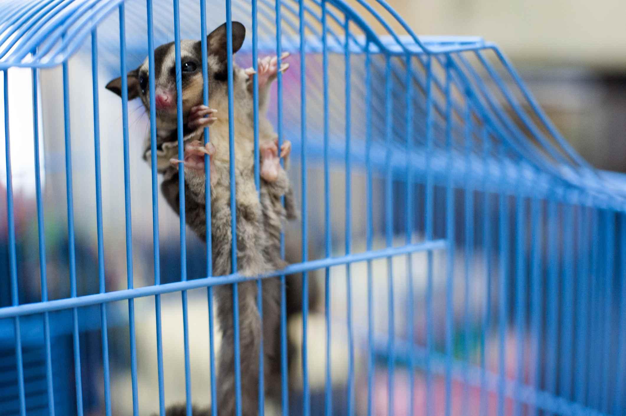 Sugar glider in blue cage
