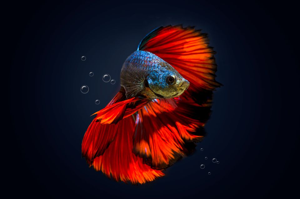 close up of a siamese fighting betta fish with red and blue markings