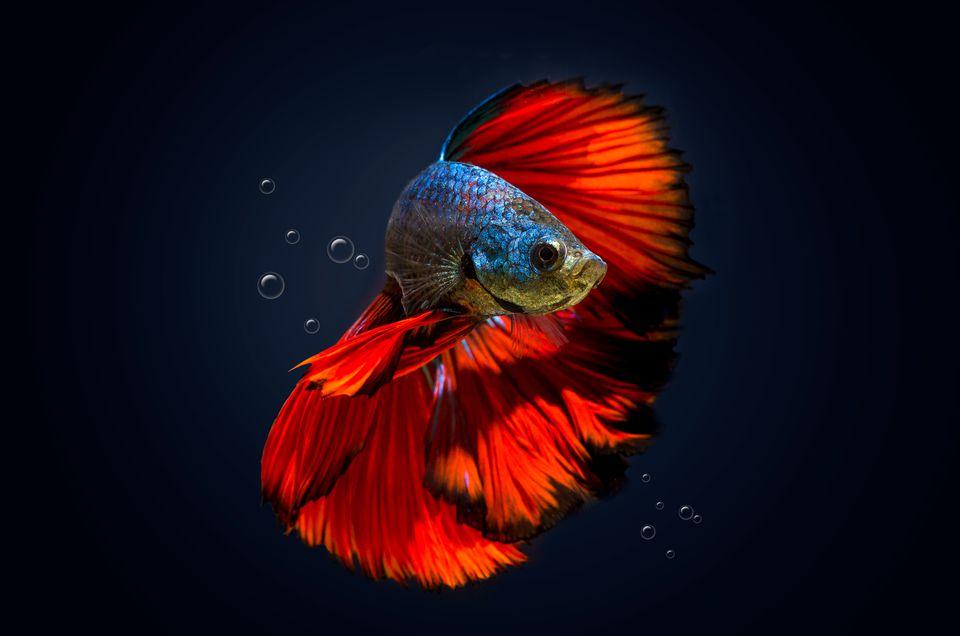 Un pez betta con marcas rojas y azules