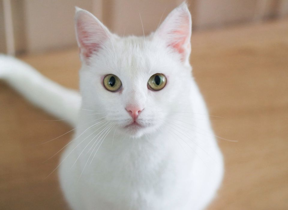 white cat with yellow-green eyes white cats by thevetscare.com