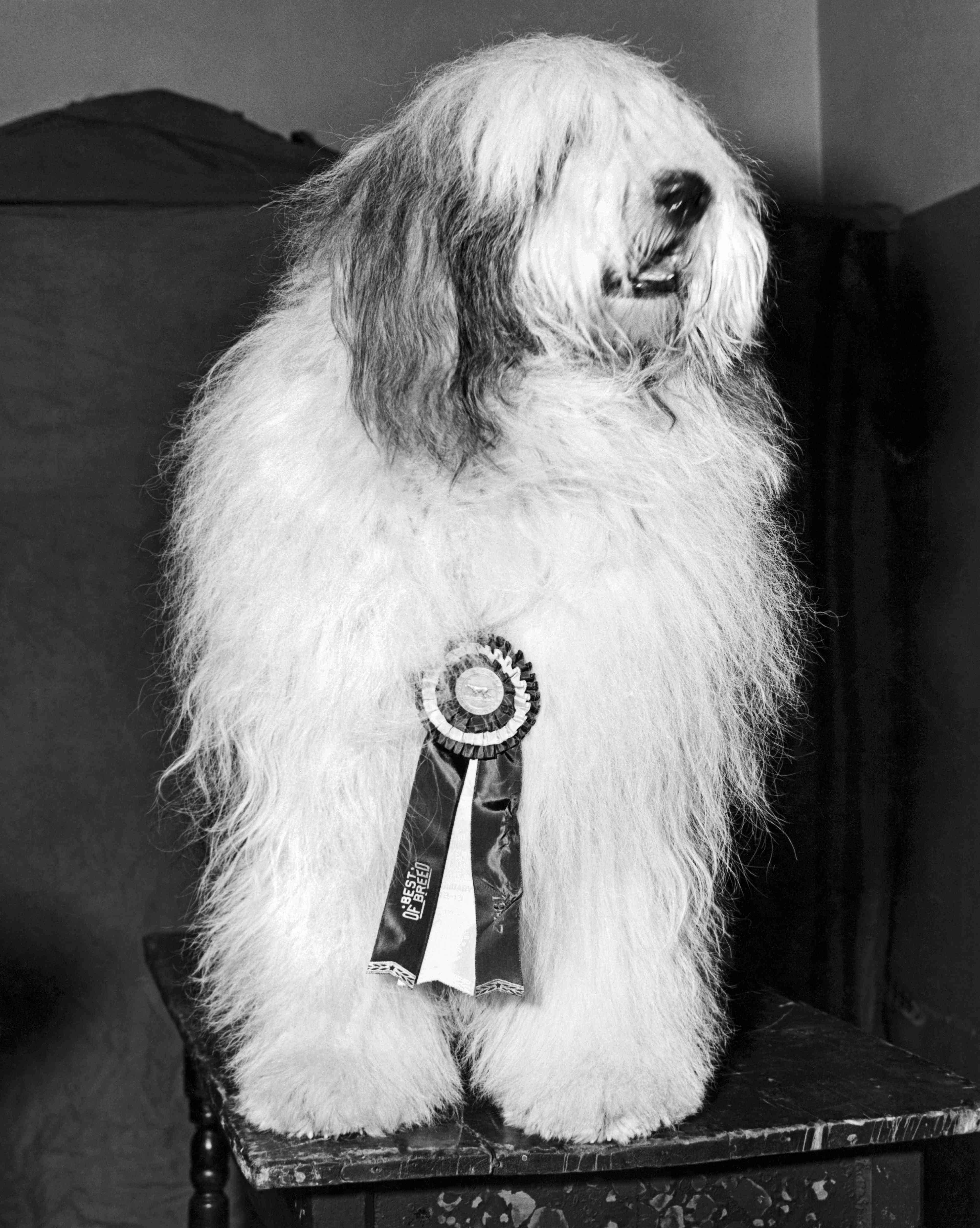 The winner of 'best of breed' in the Old English sheepdog class at the Westminster Kennel Club event in Madison Square Garden, New York, February 1947.