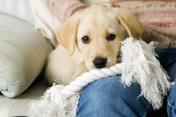 Yellow Lab Puppy sitting on a Womans Lap on a Couch