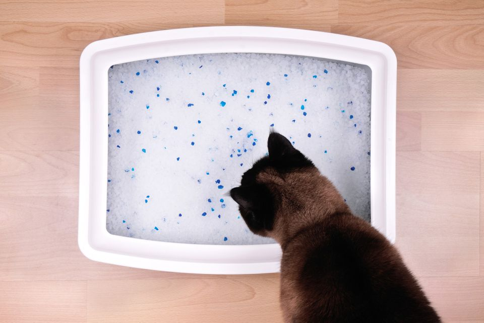 Cat smelling litter in a litterbox