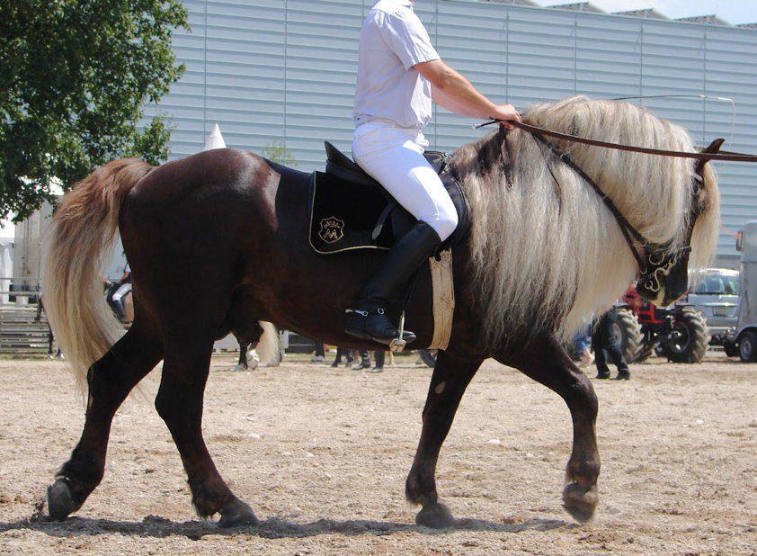 A Black Forest Horse being ridden