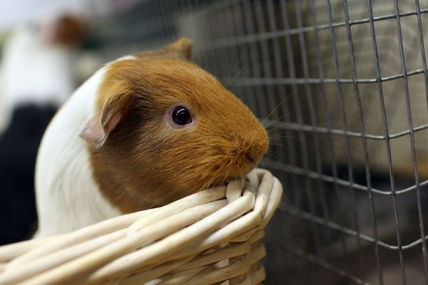 Disney's New Blockbuster Featuring Guinea Pigs Sparks Interest In The Pets