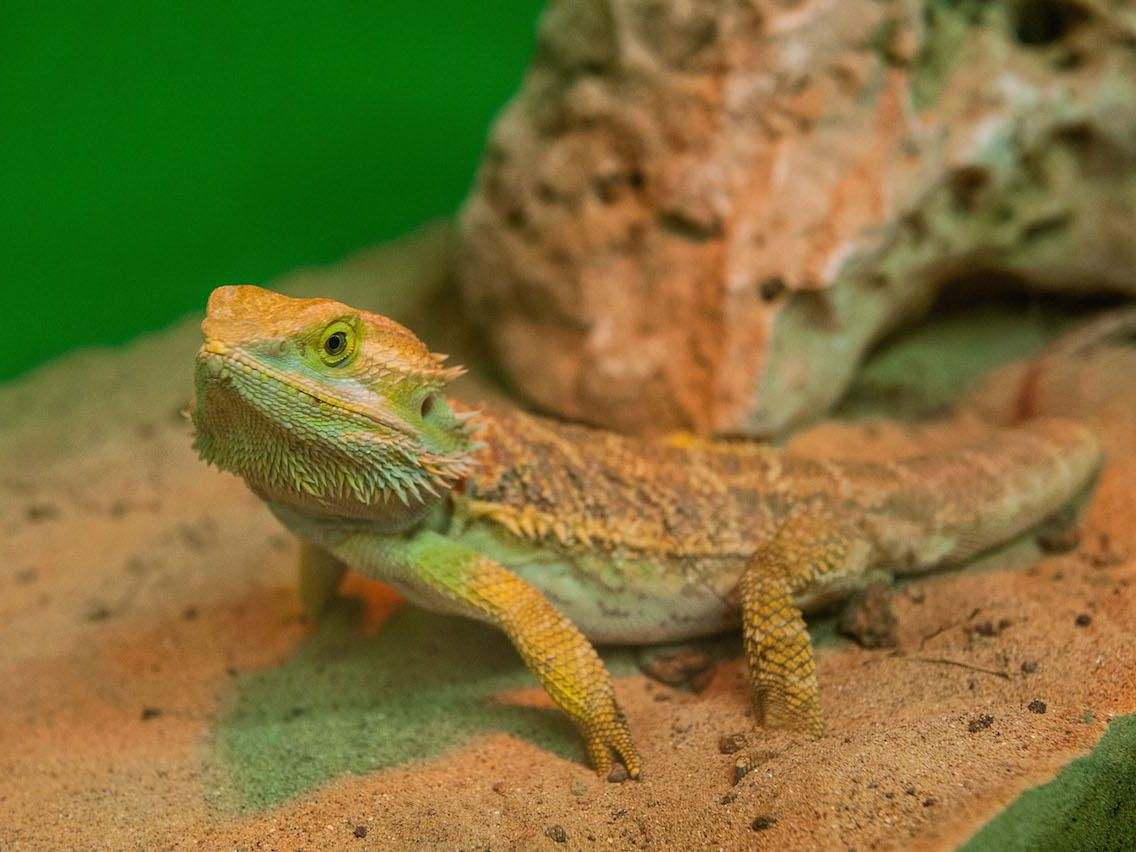 A Guide To Caring For Bearded Dragons As Pets