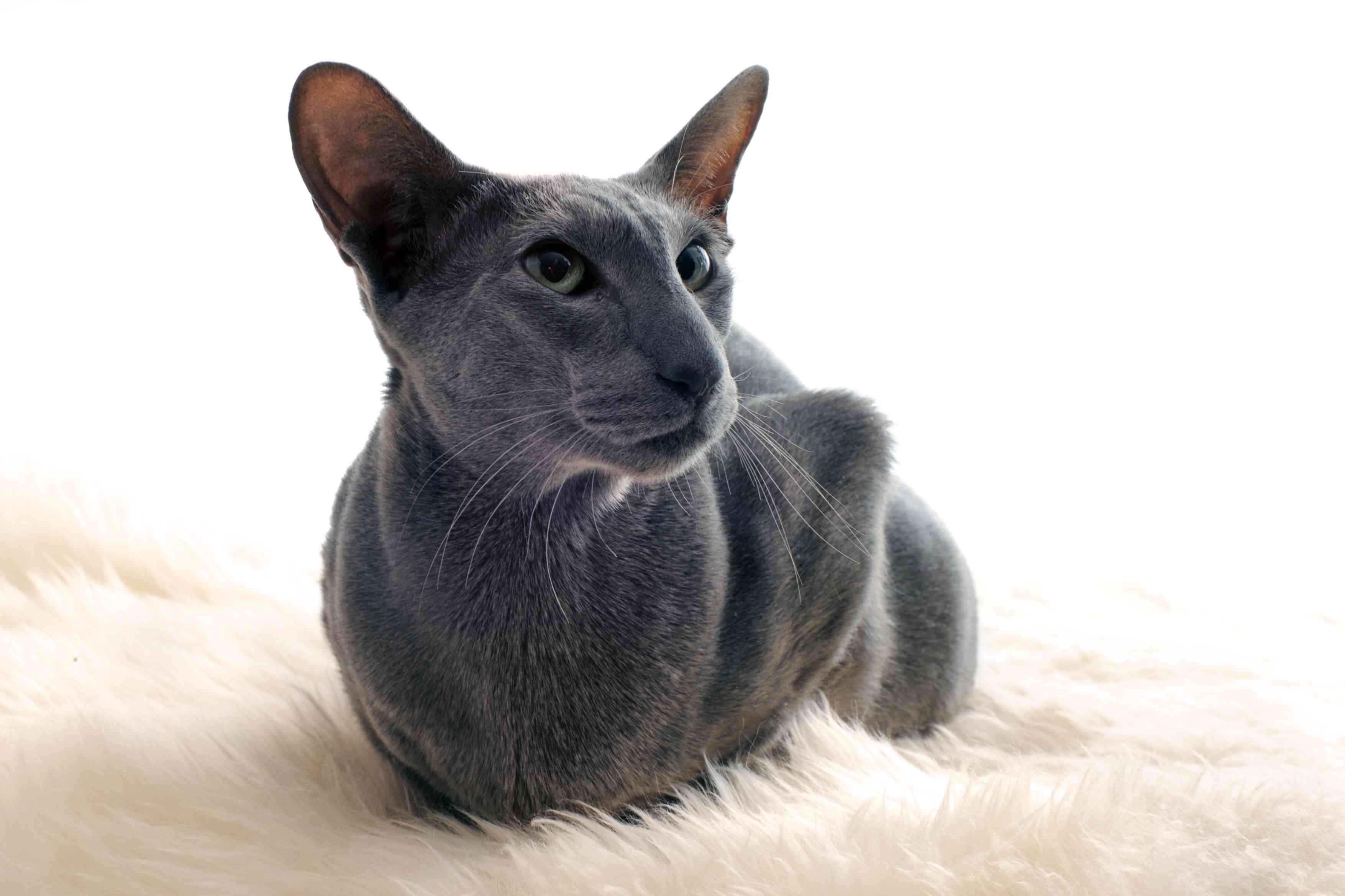 Oriental shorthair with blue coat