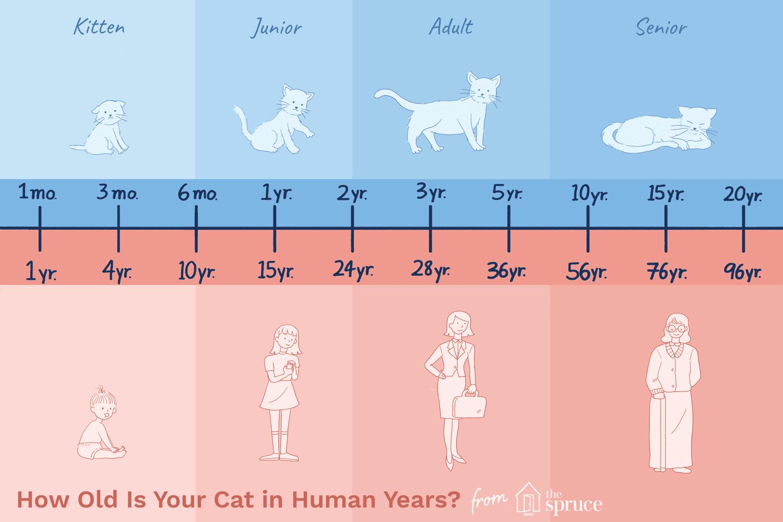 Gráfico de edad de gato a años humanos