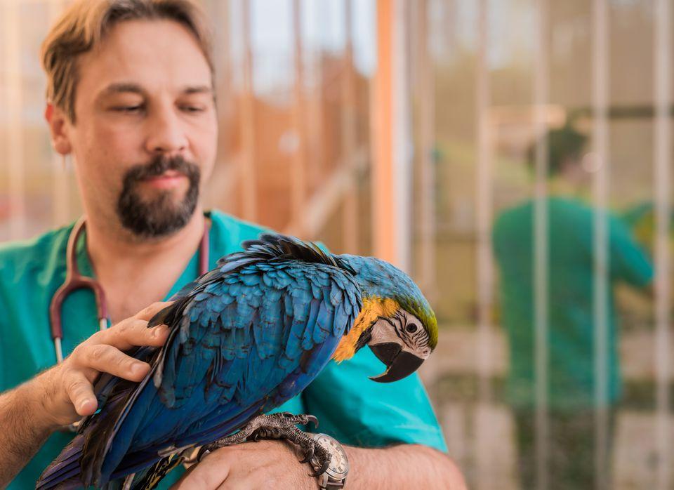 Experienced veterinarian examining young Ara parrots health.