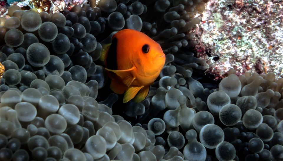 Red Saddleback Clownfish closeup with sea anemone - Thailand