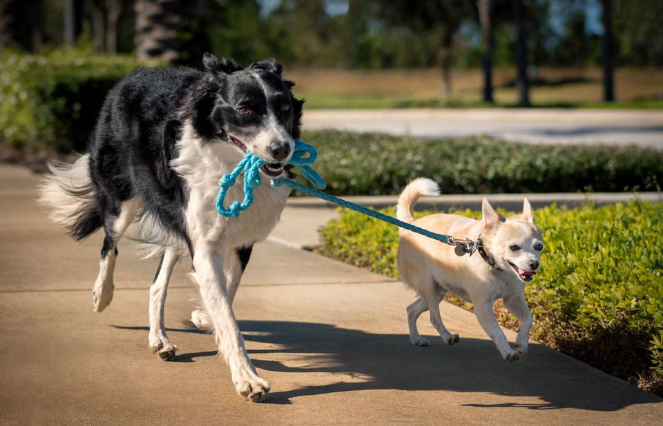 Large dog holding leash of smaller dog