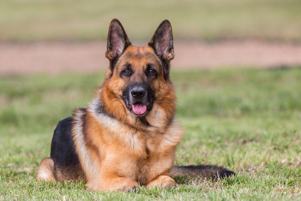German shepherd dog lying on grass