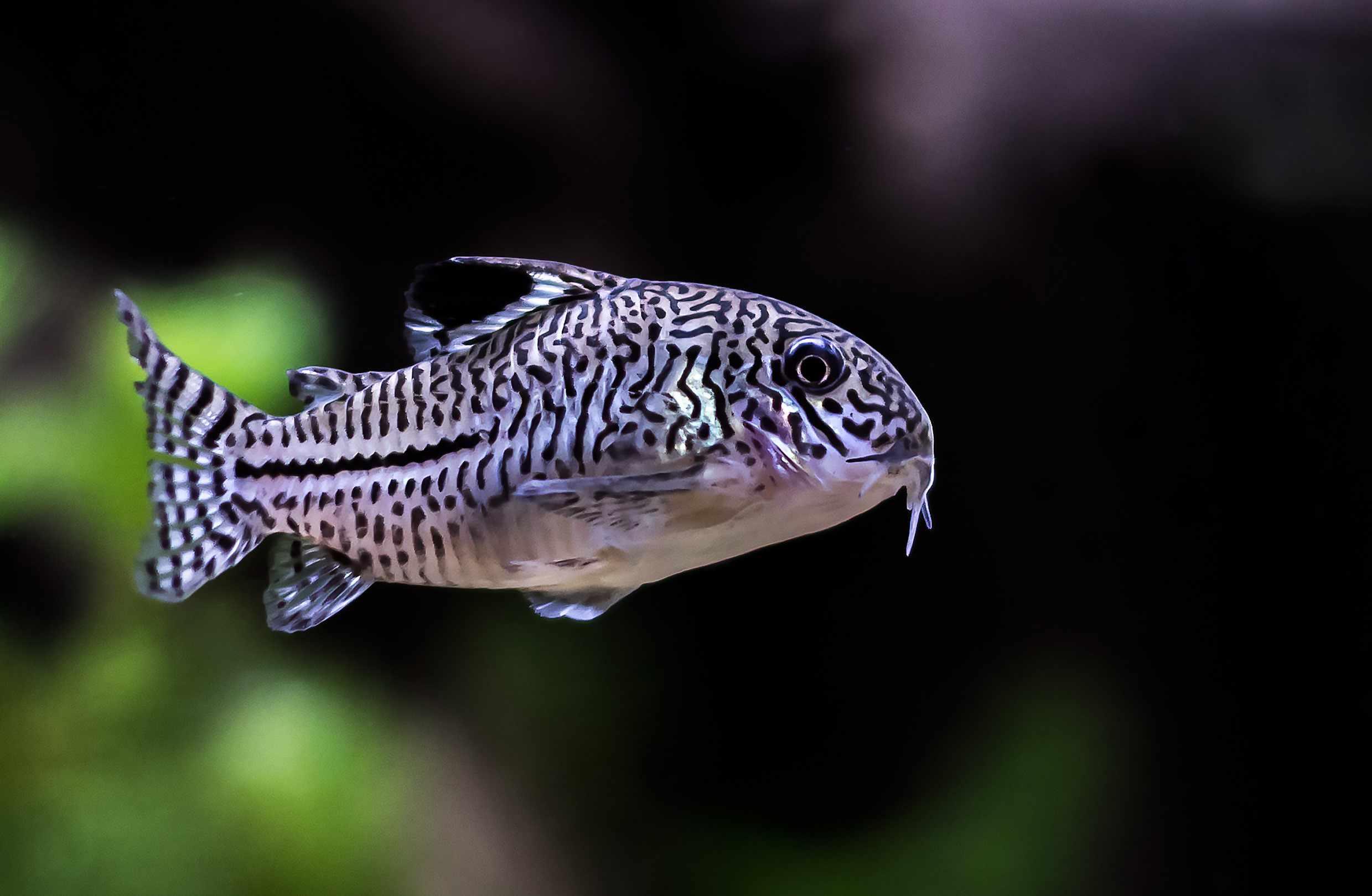 Three Stripe Corydora swimming in aquarium