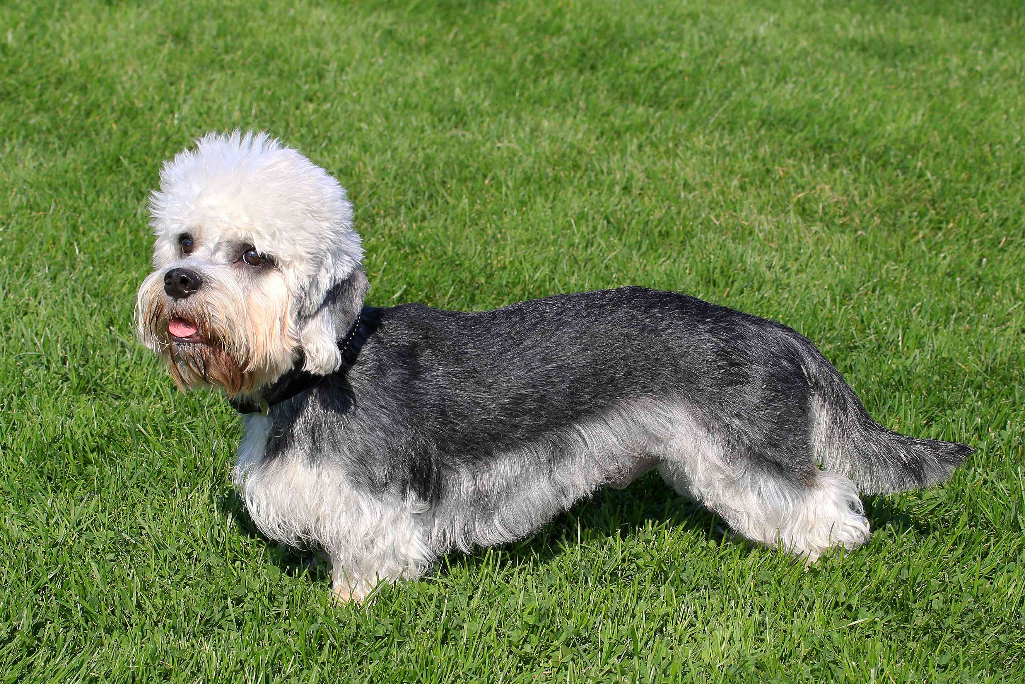 White and gray Dandie Dinmont terrier