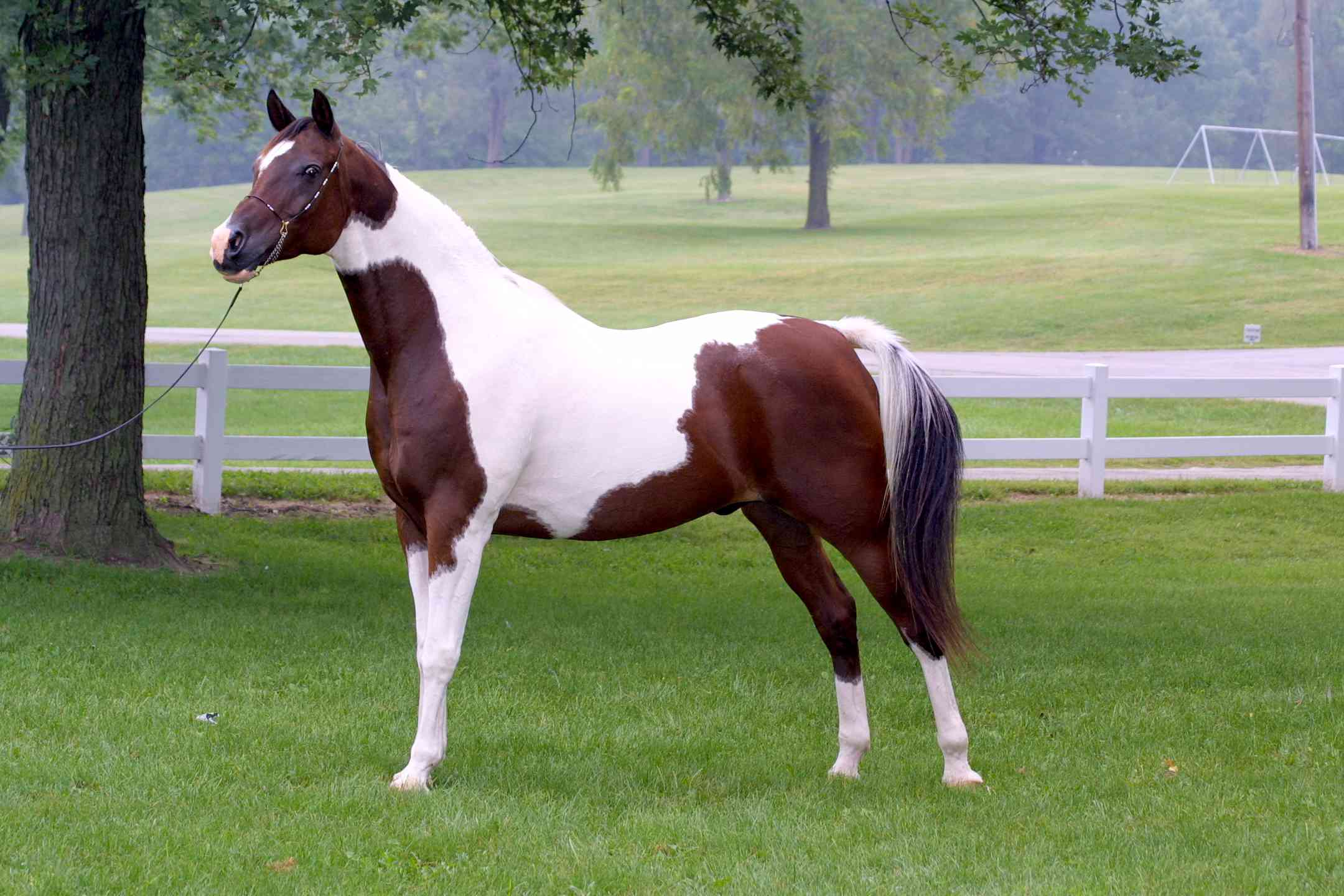 Paint Saddlebred parked out to show in hand.