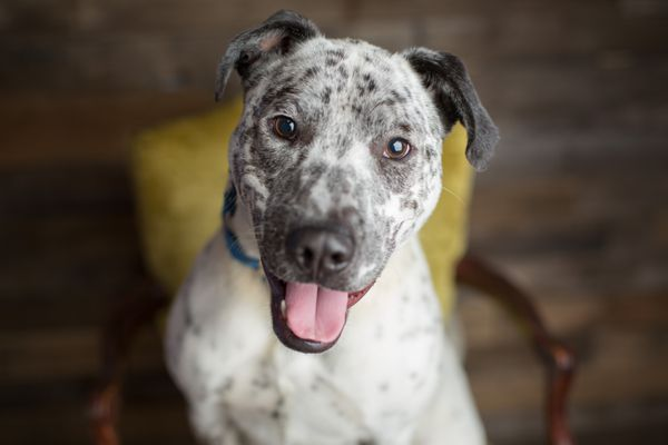 White Dog with Black Spots and Ears