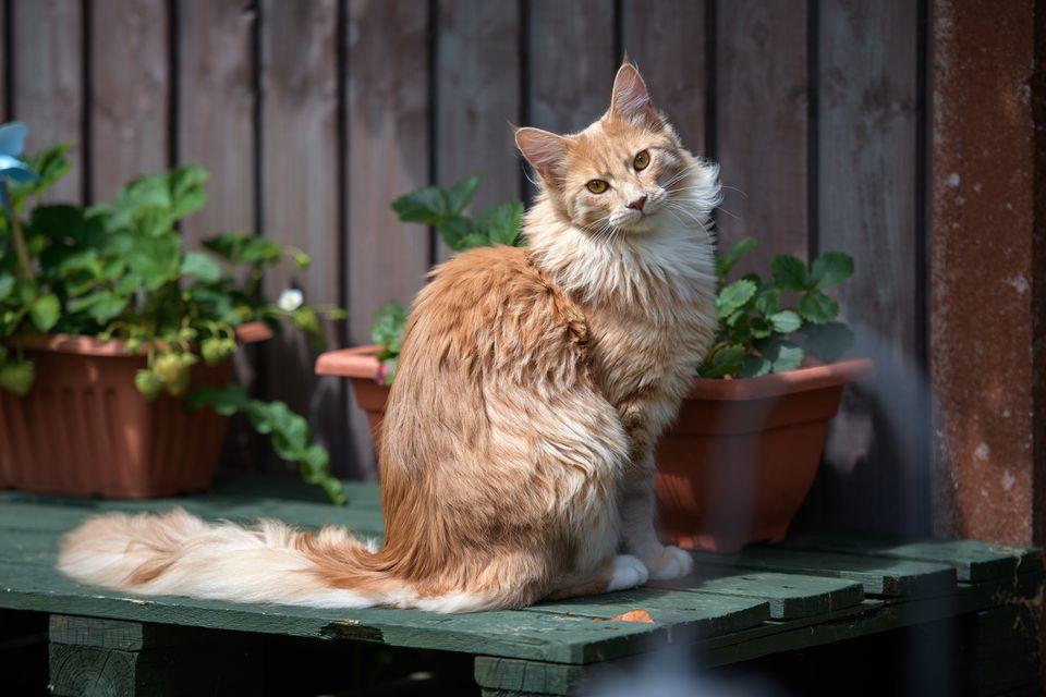 Retrato de raza de gato Maine Coon