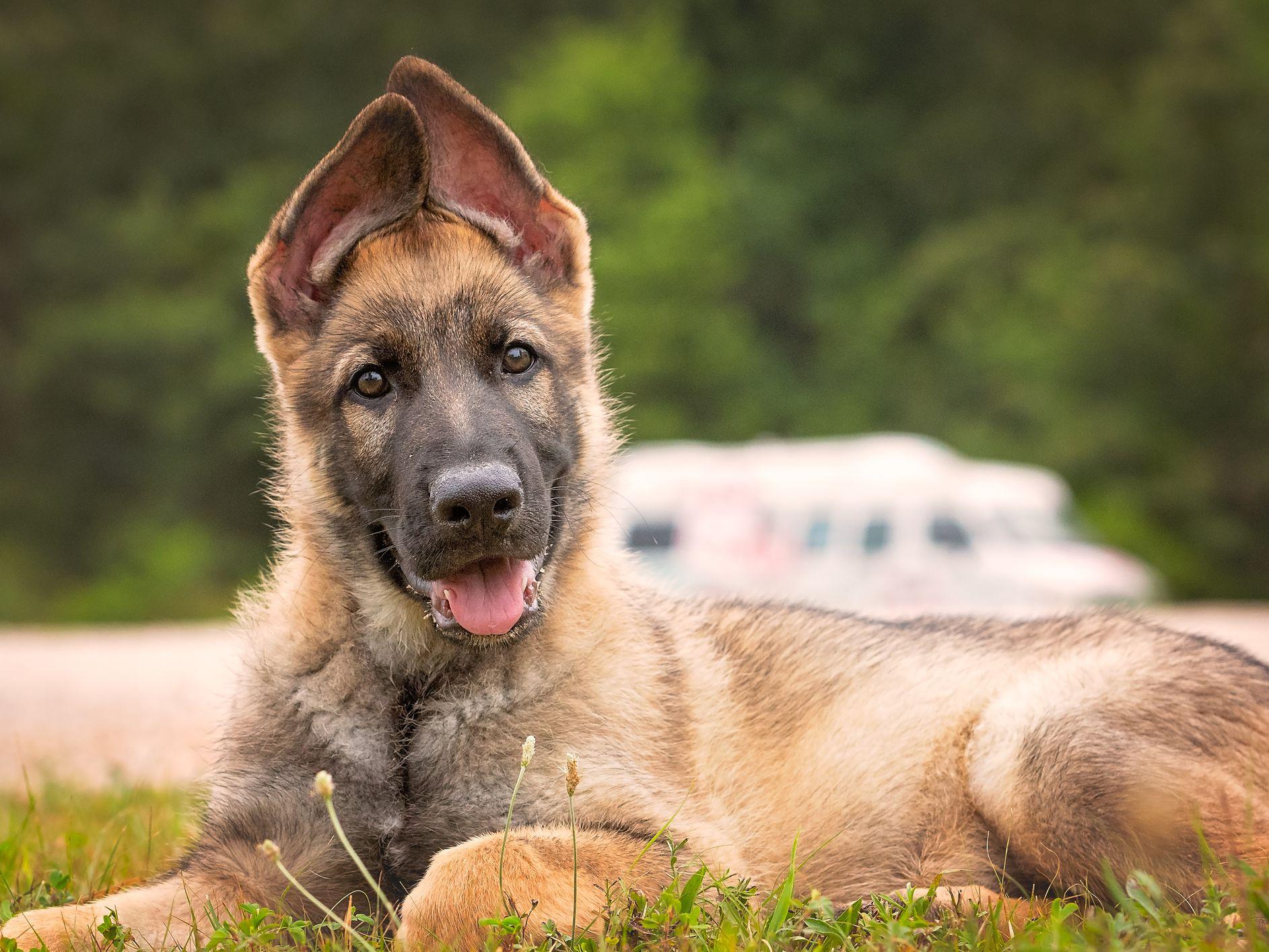 84 Names For German Shepherds