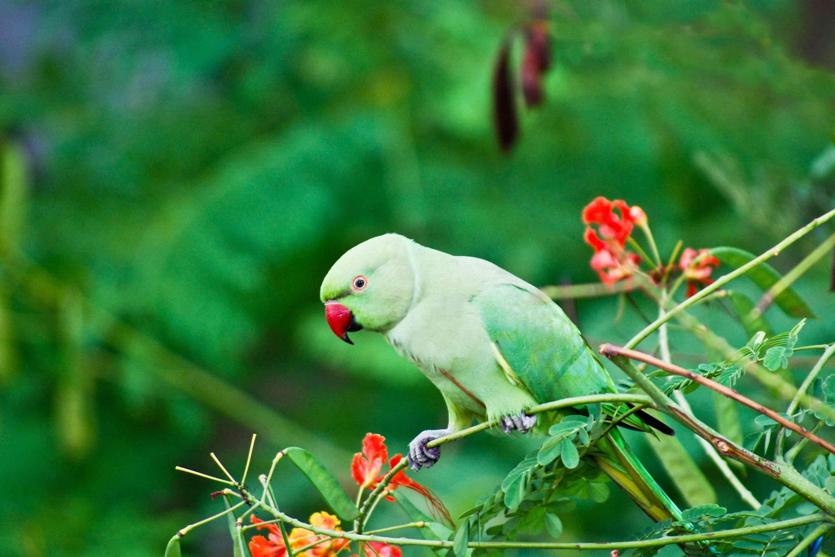 Indian ringneck parakeet in a tree