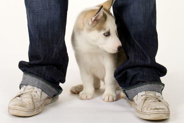 Husky between person's legs
