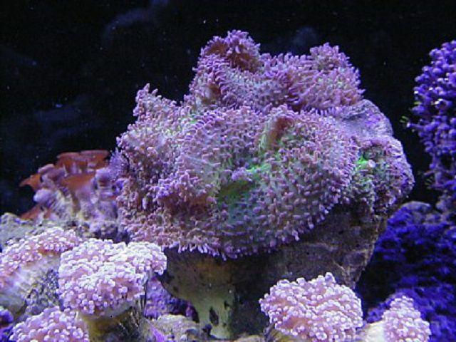 Frilly Mushroom Coral (Rhodactis sp.)