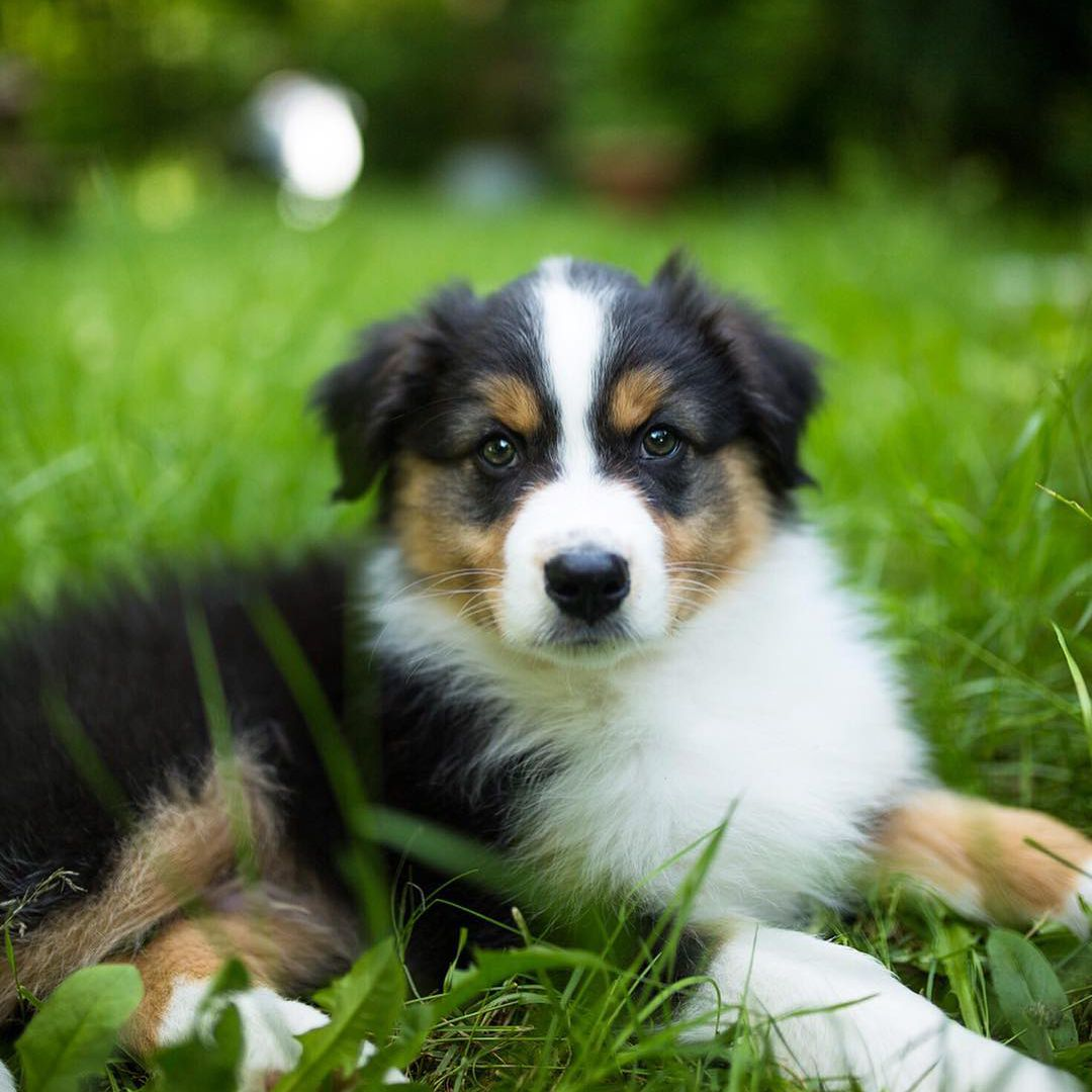 An Australian Shepherd puppy.