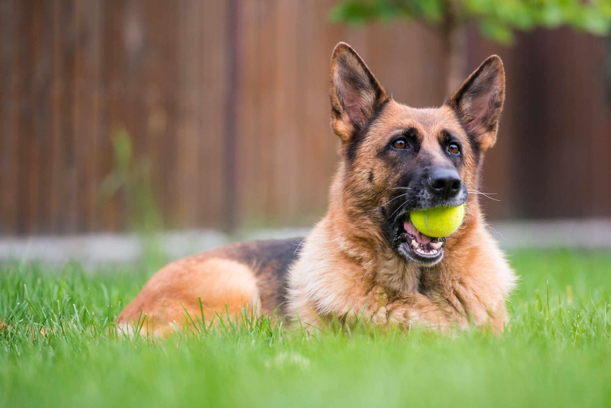 German shepherd with tennis ball