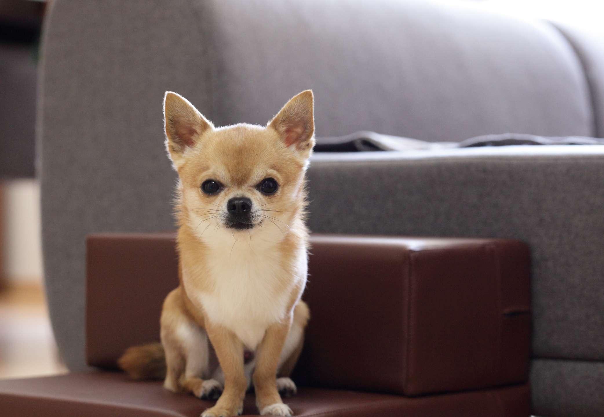 Tan chihuahua al lado del sofá