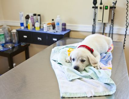 Puppy lying down on a table at the veterinarian's office