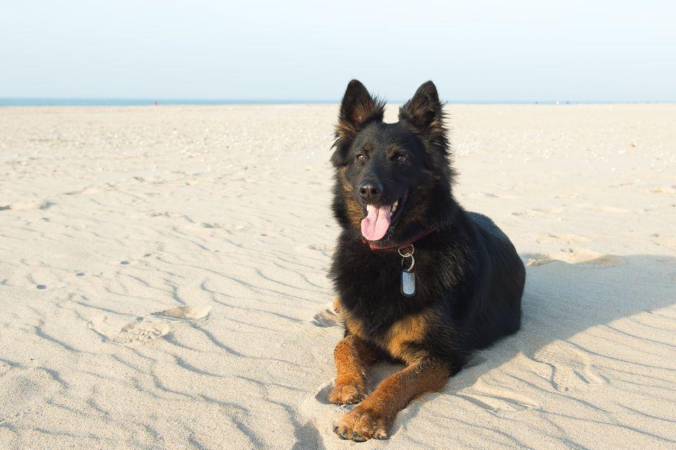 An adult czech shepherd on a sandy beach