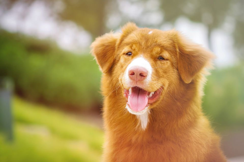 Nova Scotia Duck Tolling Retriever smiling outside