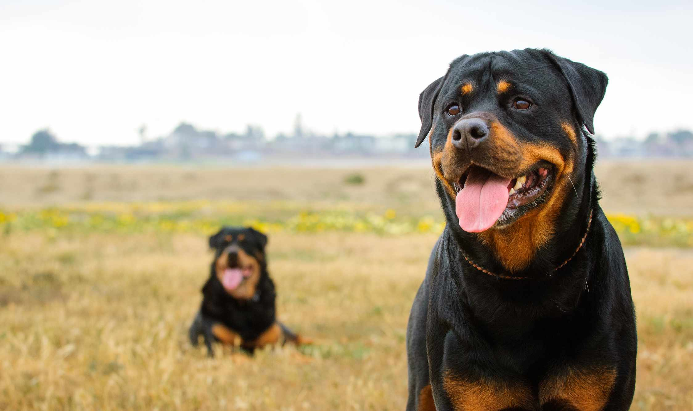 Two Rottweilers outdoors