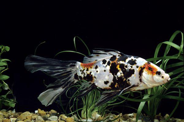 Shubunkin goldfish in a tank