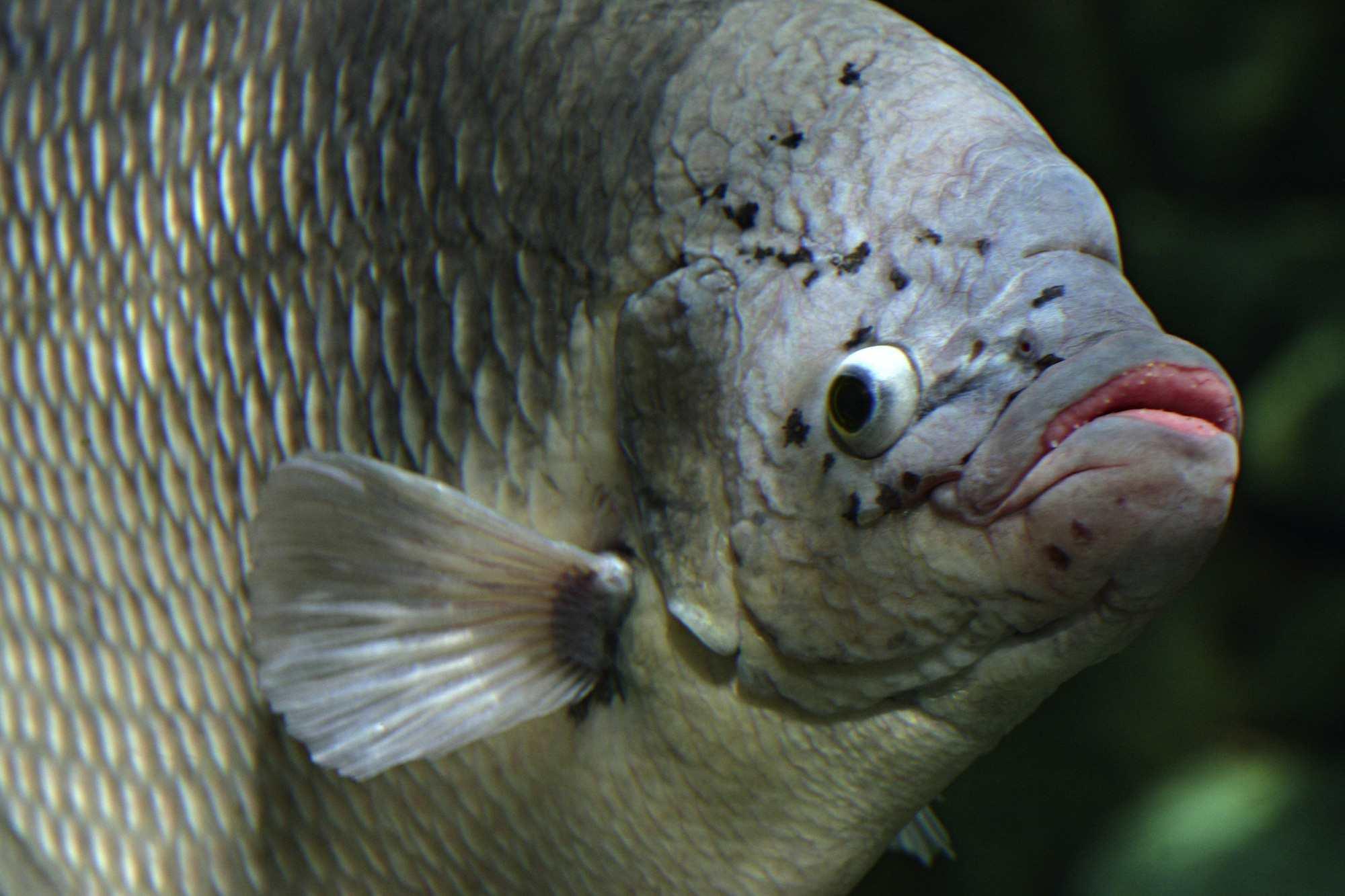 Gourami gigante en un acuario