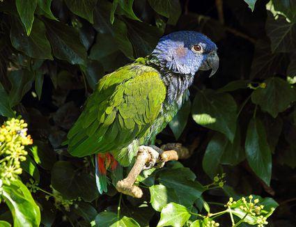 Blue headed parrot. Pionus menstruus. South and Ce