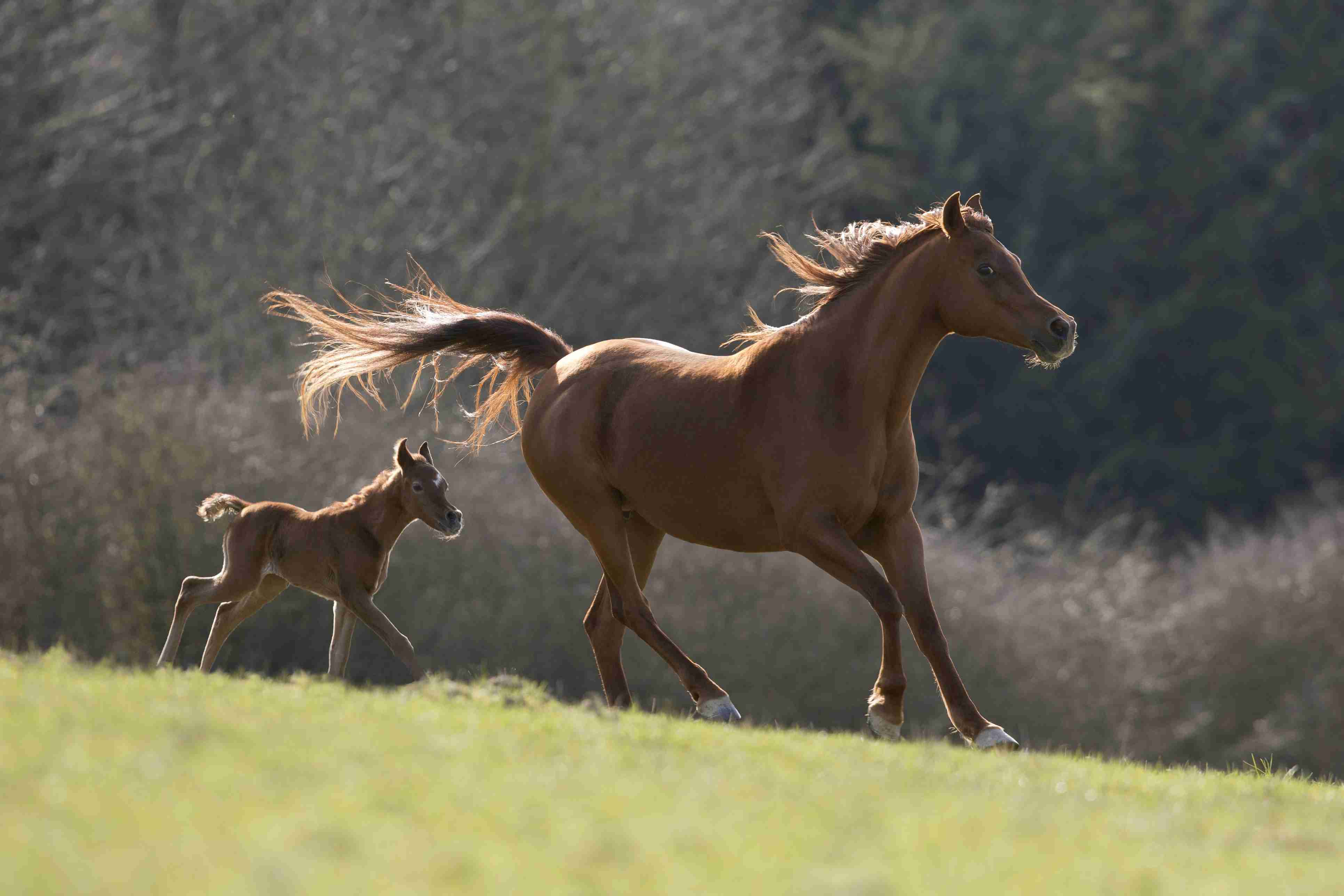 Brown Arabian mare with colt galloping