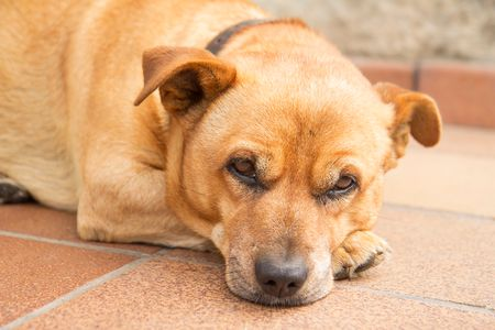 How to Treat Distemper in Puppies