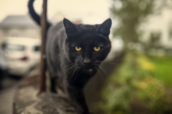 Bombay cat walking