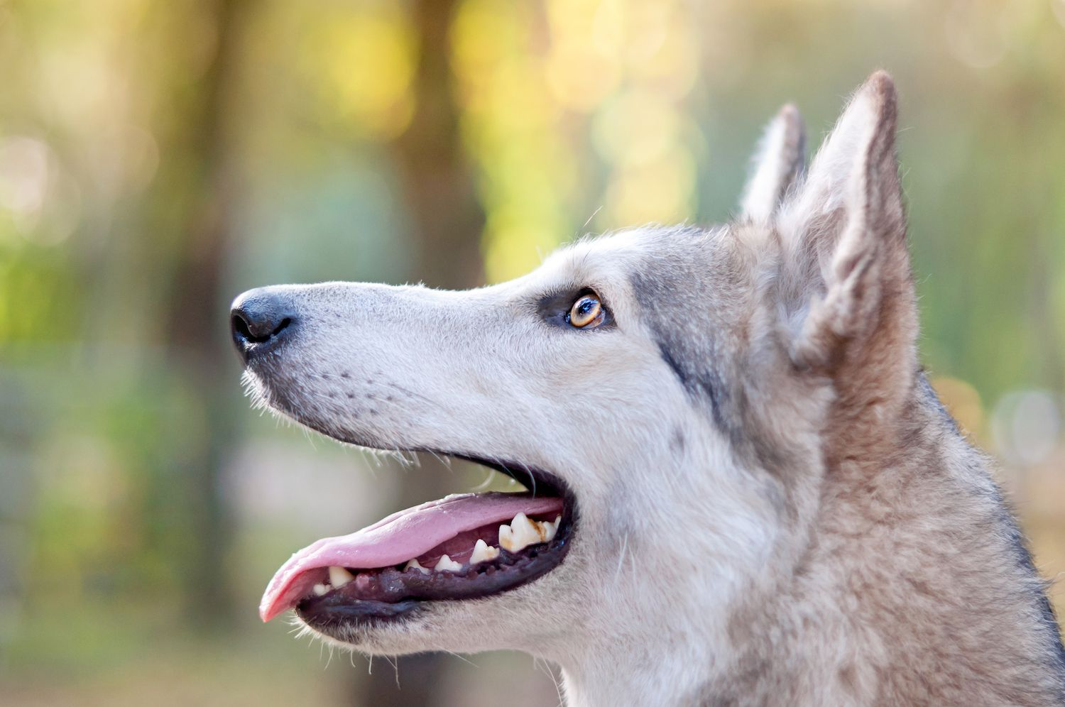 side profile of wolf dog