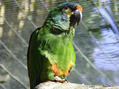 Yellow-Collared Macaw Bird Species Profile